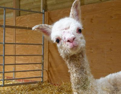 Our new born Elite male Cria