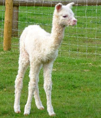 Our first Elite male cria