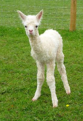 Our second Elite male Cria