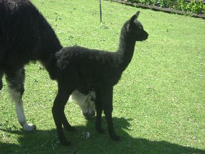 8/6/08-GRACE-Sld Blk-sire Alpaca Partnership Ed