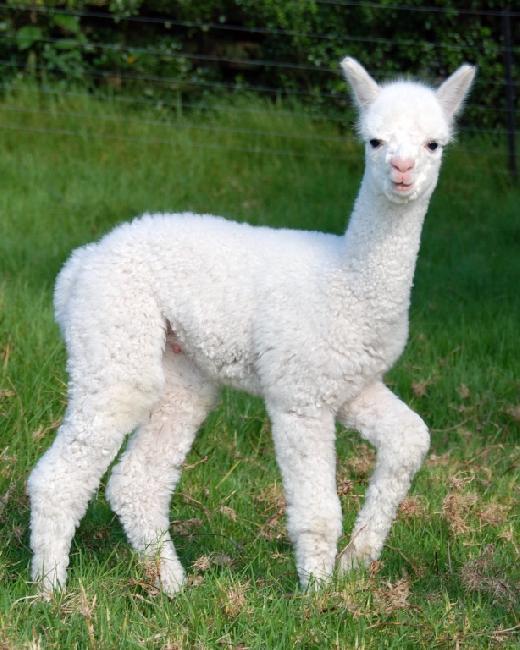 Premier (17 days old)