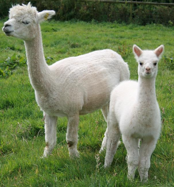 Crusader X Aireen female cria DFA Chantilly