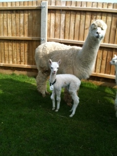 AHH317 - White Female DOB 27/3/12 Sire
