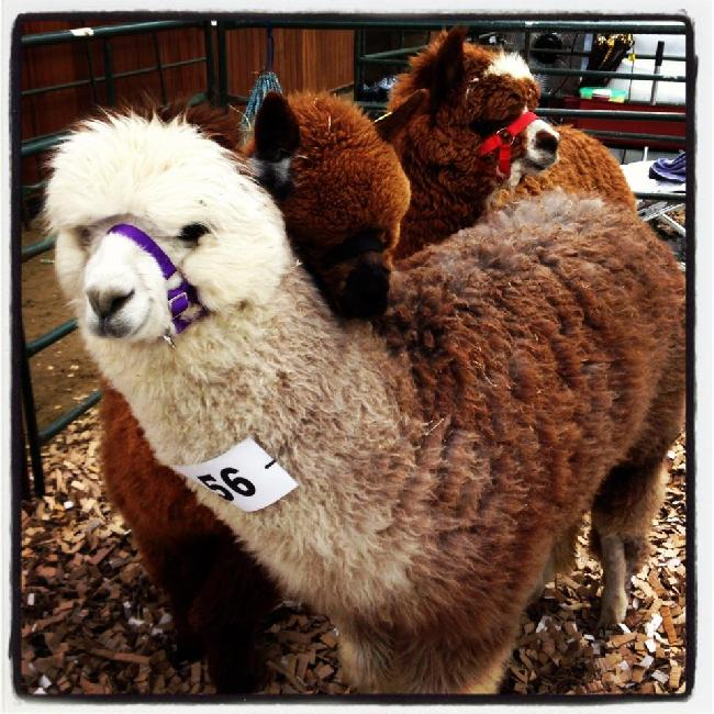Savanna, Willow and Fallen at The Southwest Group 2012 Alpaca Spring Show