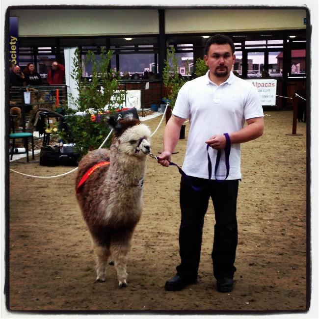 Savanna won 1st place in the Junior Female Grey class at The Southwest Group 2012 Alpaca Spring Show
