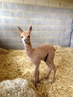 SOLD AHH262 - Brown Female DOB 21/4/12 Sire