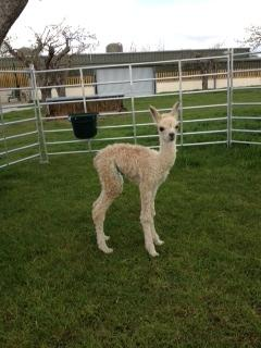 AHH413 - Light Fawn Female DOB 22/4/12 Sire