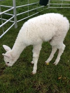 AHH304 - White Female DOB 10/4/12 Sire