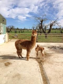 AHH432 - Medium Fawn Female DOB 27/4/12 Sire
