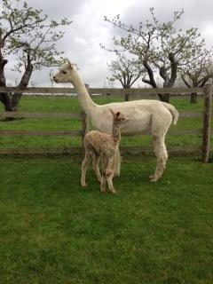 AHH434 - Light Fawn Male DOB 7/5/12 Sire