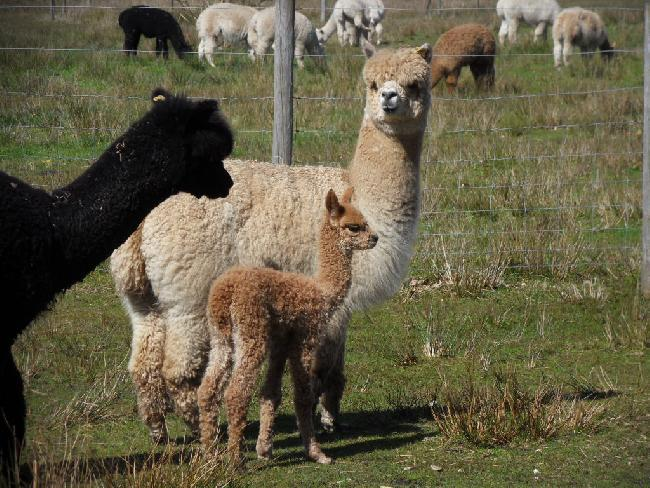 Bearhouse Lily with her cria, Daisy - one weeks old.