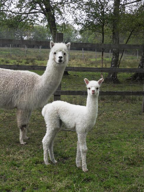 Bearhouse Phonics with her new female cria, Roxy, born on 2nd May 2012, sired by Caton Tulaco Caliph
