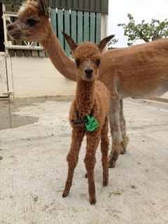 SOLD AHH318 - Brown Female DOB 17/5/12 Sire
