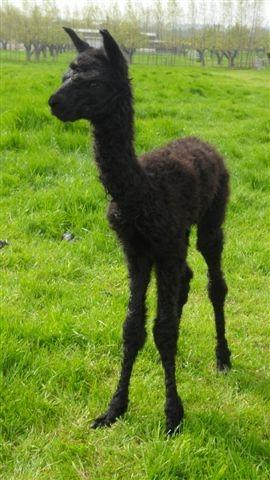 AHH177 - Black Male DOB 21/5/12 (ET) Sire