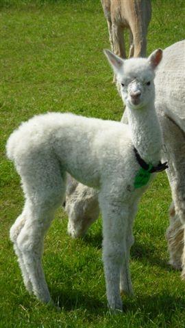 AHH446 - White Female DOB 18/5/12 Sire
