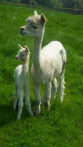 AHH035 - White Female DOB 24/5/12 Sire