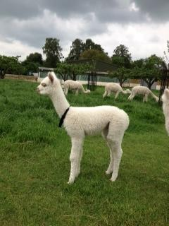 AHH270 - White Female DOB 17/5/12 Sire (ET)Sire
