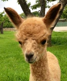 Just Beautiful! AHH120 - DF Female DOB 31/5/12 (ET) Sire