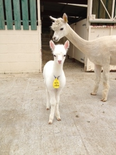 SOLD AHH475 - White Female Cria DOB 22/06/12 - Sire