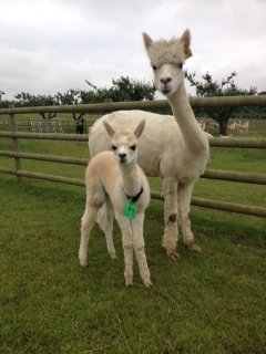 AHH089 - LF/White Female Cria DOB 3/07/12 - Sire