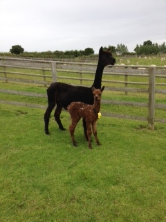 NZ065 - DF Male Cria DOB 30/6/2012 - Sire