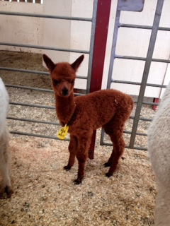 AHH464 - DF Female Cria DOB 29/6/2012 - Sire