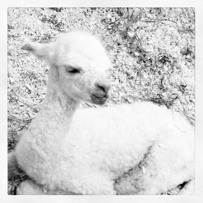 AHH122 - LF Female Cria DOB 15/7/2012 - Sire
