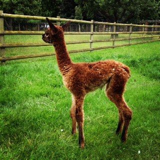 AHH493 - Just Beautiful! DF Female Cria DOB 19/7/2012 - Sire