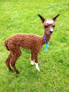AHH498 Dark Brown Male Cria DOB 1/8/2012 - Sire