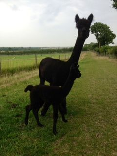 Just beautiful! NZ035 B Male Cria DOB 15/8/2012 - Sire
