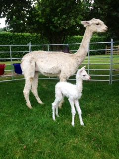 Photo 2 AHH681 W Male Cria DOB 12/8/2012 - Sire