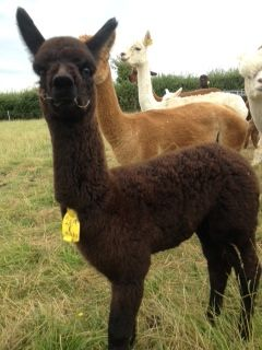 A more recent photo of AHH269 - Black Female Cria DOB 15/06/12 - Sire
