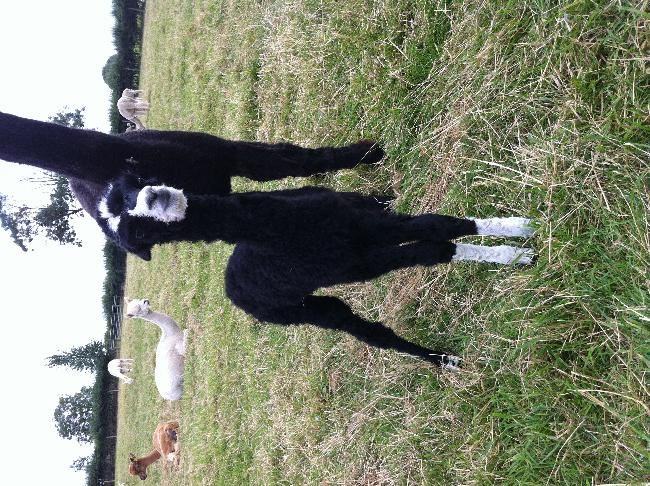 AHH127 - Black with white legs & face - just beautiful Femal Cria DOB 11/08/12 - Sire