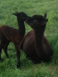 Kiss from Mummy! AHH494 Dark Brown Female Cria DOB 5/9/2012 - Sire