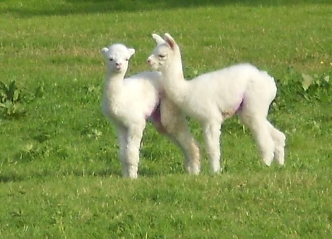 Artex and Lily.... our lastest cria of 2012