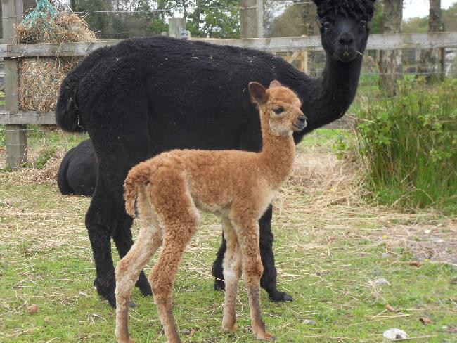 Bearhouse Venus with new male cria, Jupiter, born 16 Sept 2012.  Very surprised he is not a black!