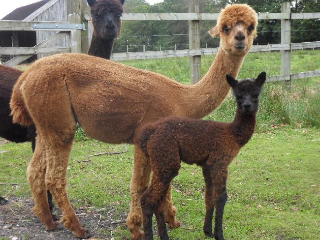 Bearhouse Ruby with new female cria, Kiara,  sired by Bozedown Kazzan.  Born 10 September 2012.