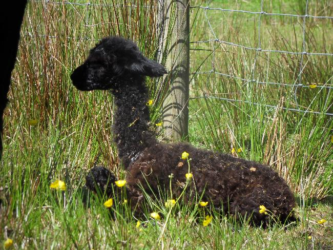 Percephone's cria - just born - 4th June 2013