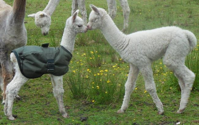 2013 cria, Iona and Baloo getting to know each other
