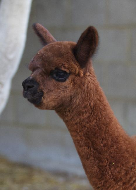Fonti..A stunning Brown Cria  that will be shown this year