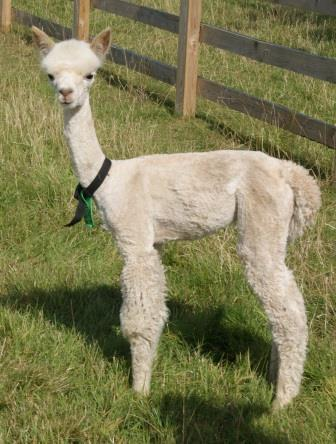 Lustrous white shorn cria 2014