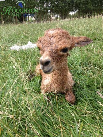Newborn cria 170714
