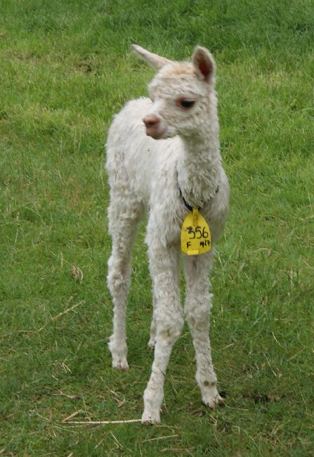 Gorgeous little suri cria 2014