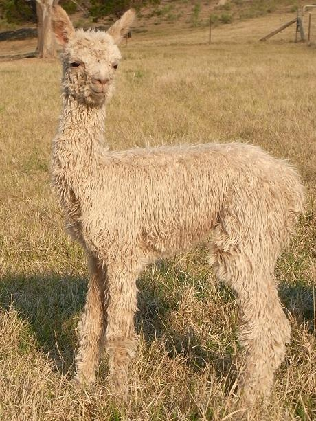 Impossible to resist - suri cria are stunning from day one!