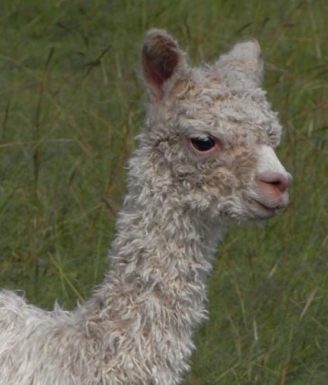 One day old suri cria...