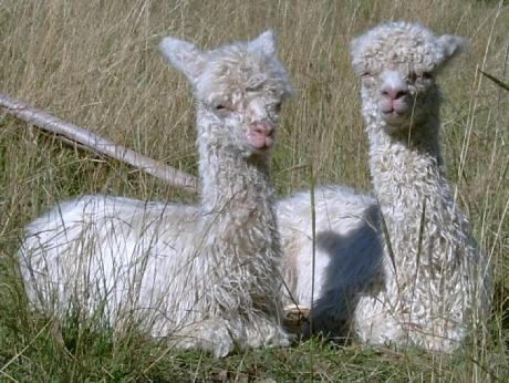 Two young suri cria doze in the sun...