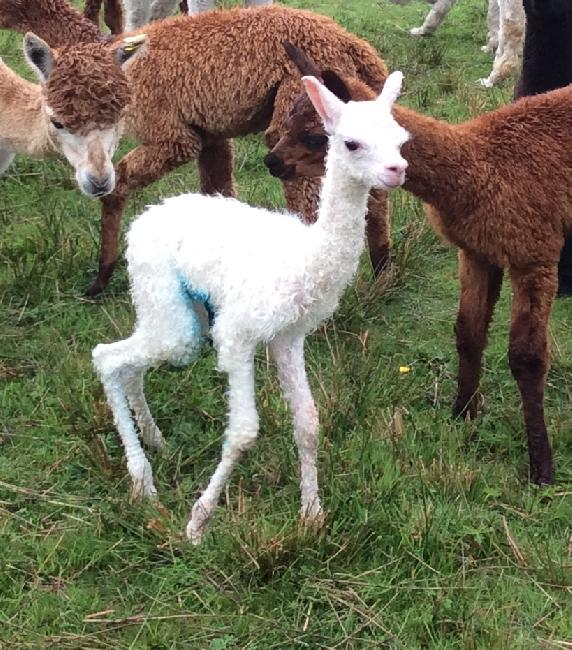 Tutu's 2017 cria - one hour old!