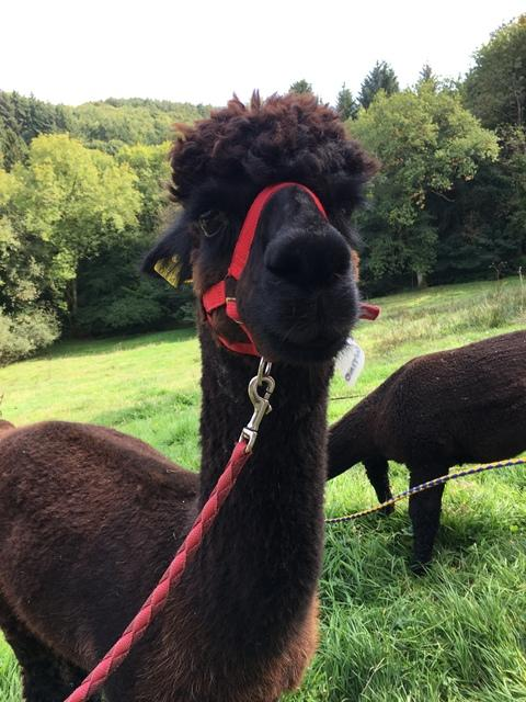 Valentino - our lead alpaca and a favourite on our alpaca treks