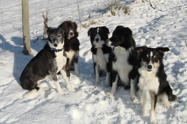 Our Collies in the snow