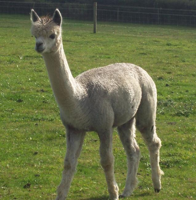 Kilauea, a beautiful young ribbon winning grey. We're expecting some lovely cria from her